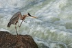Heron Itch