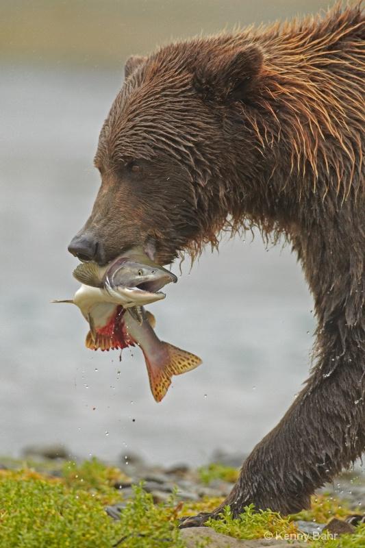 Brown Bear with Salmon - ID: 13911326 © Kenneth E. Bahr