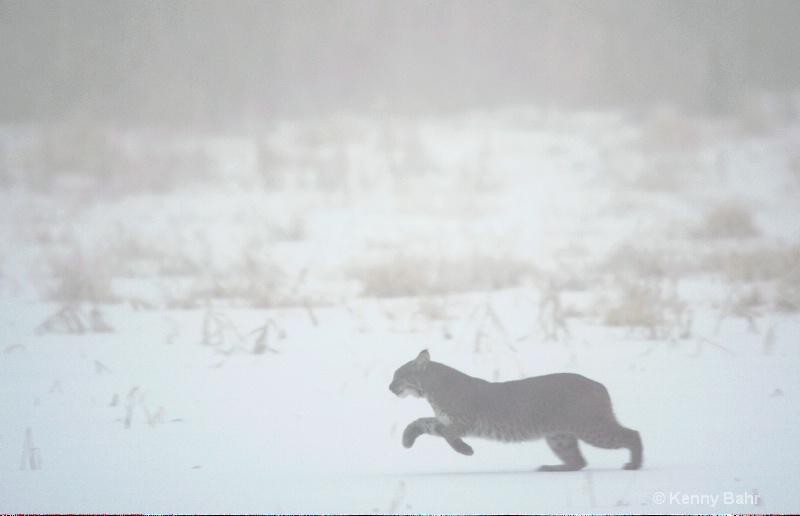 Bobcat in fog - ID: 13911333 © Kenneth E. Bahr