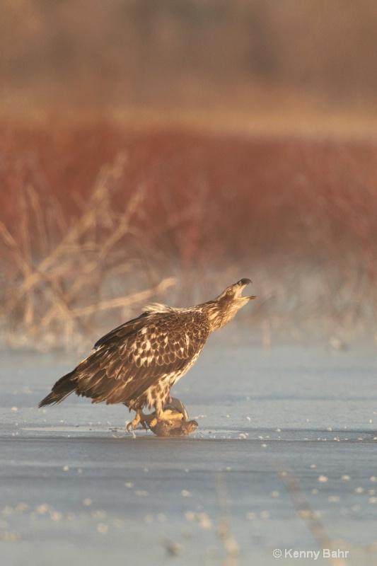 Eagle with Mallard - ID: 13911335 © Kenneth E. Bahr