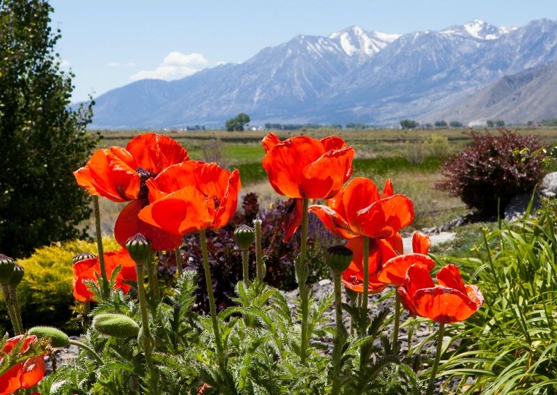Spring Poppies - ID: 13912784 © Steve Abbett