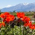 2Spring Poppies - ID: 13912784 © Steve Abbett