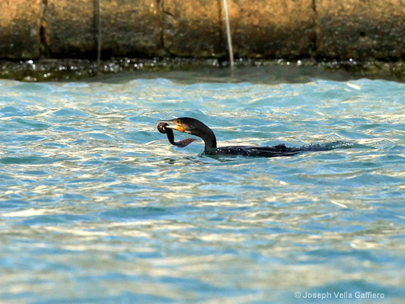 great cormorant b - ID: 13914238 © Joseph Mr. Vella Gaffiero