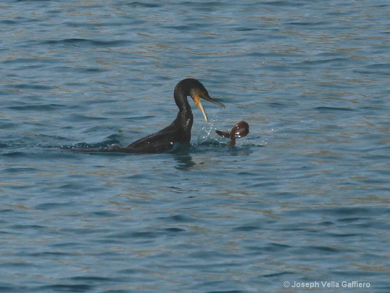great cormorant d - ID: 13914240 © Joseph Mr. Vella Gaffiero