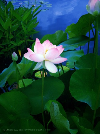 Twilight Lotus