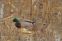 Pair of Mallards feeding on corn