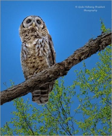 Baby Owl Watching