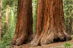 Sequoia Trees, Ma...