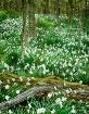 Narcissus Field