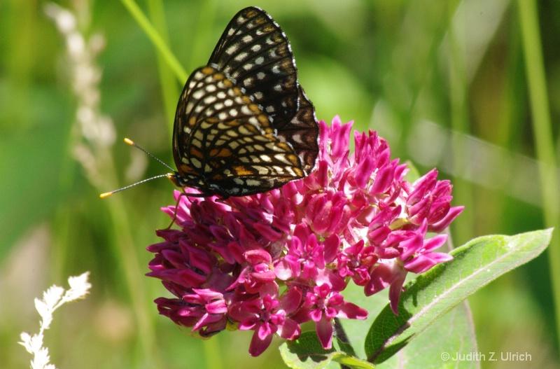 Baltimore Checkerspot on purple milkweed