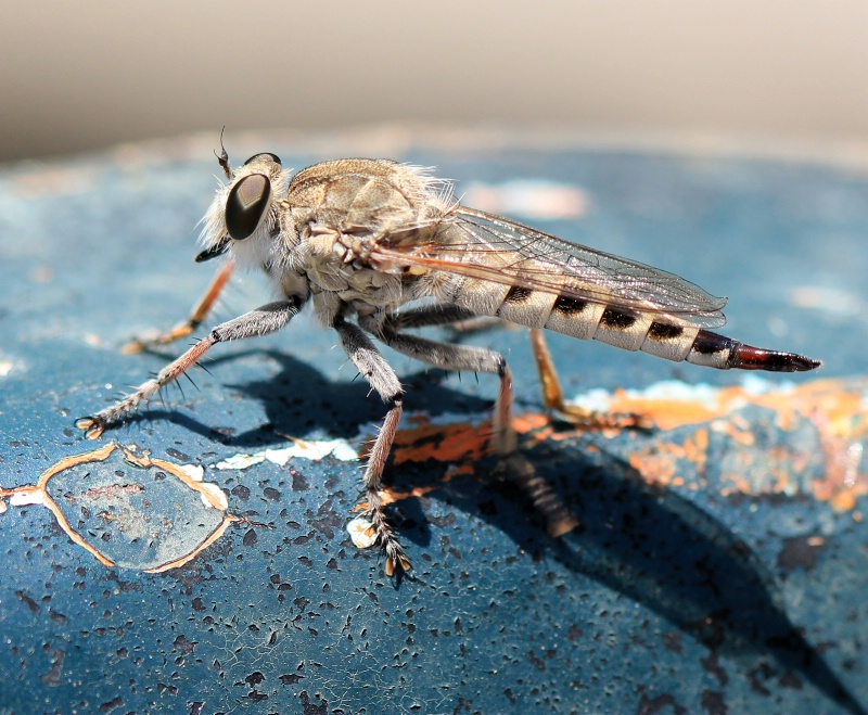 Robber Fly Pitstop