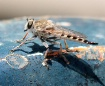 Robber Fly Pitsto...
