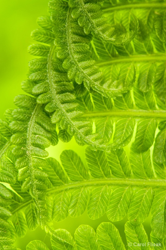 Unfolding Fern ` Winterthur Gardens - ID: 13935344 © Carol Flisak