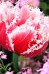 Pink frills