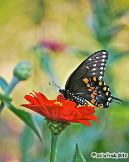 Black Swallowtail - Female - ID: 13937950 © Zelia F. Frick