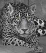 Jaguar Eyes