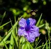 Bumble Bee in Fli...