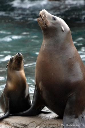 mama harbor seal and babe