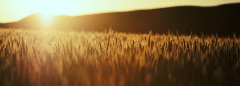 Wheat In Morning Sun