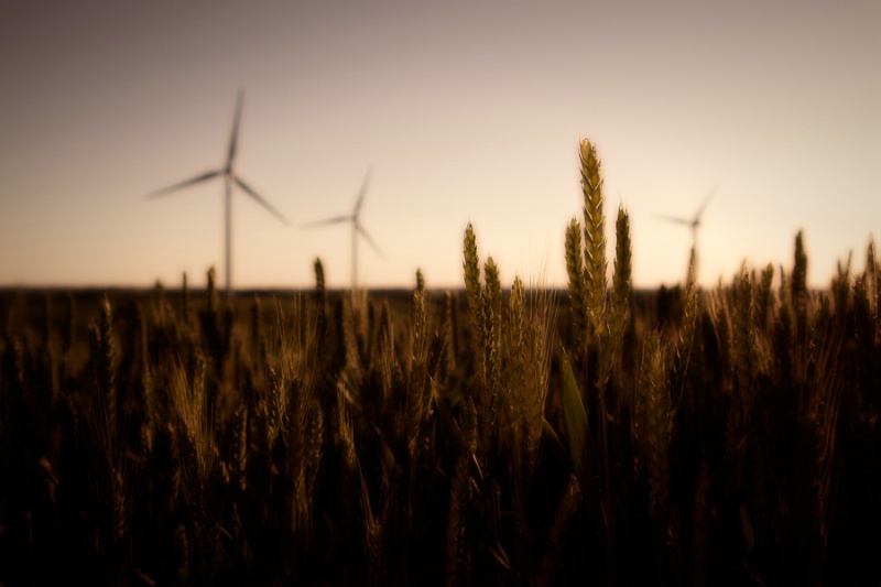Wheat And Wind Turbines