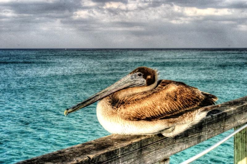 Pelican at Rest - ID: 13947670 © Sandra Hardt