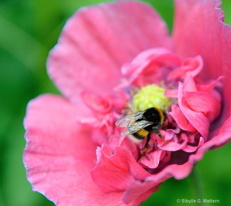 bumblebee on poppy  - ID: 13948861 © Sibylle G. Mattern
