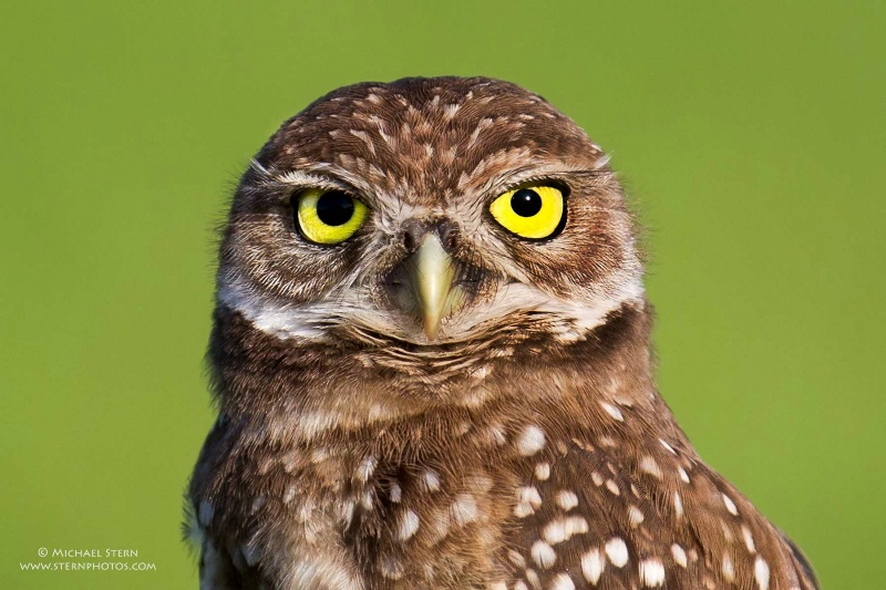 baby-burrowing-owl-head-shot-brian-p-parkjune17201 - ID: 13949626 © Michael Stern