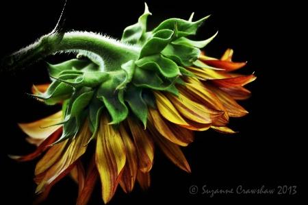 Backside of a Sunflower