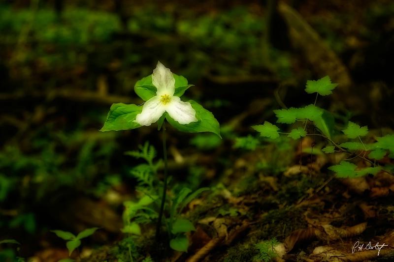 Trillium: Ontario's Floral Emblem