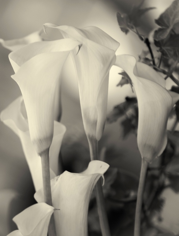 Cala Lily in Black & White - ID: 13958572 © Denise Woldring