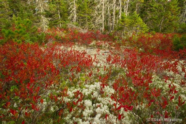 Blueberry Bushes & Lichen 2274, Acadia NP - ID: 13958978 © Susan Milestone