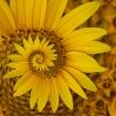 Spunflower