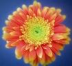 daisy fade