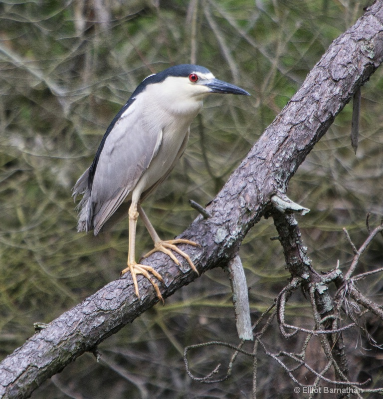 Black-crowned Night Heron - Chincoteague 18 - ID: 13964290 © Elliot S. Barnathan