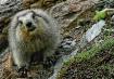 Marmot Face Off