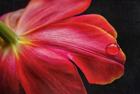 Tulip on a window sill