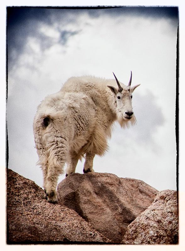 Mountain Goat - ID: 13973101 © Sheila Babbie