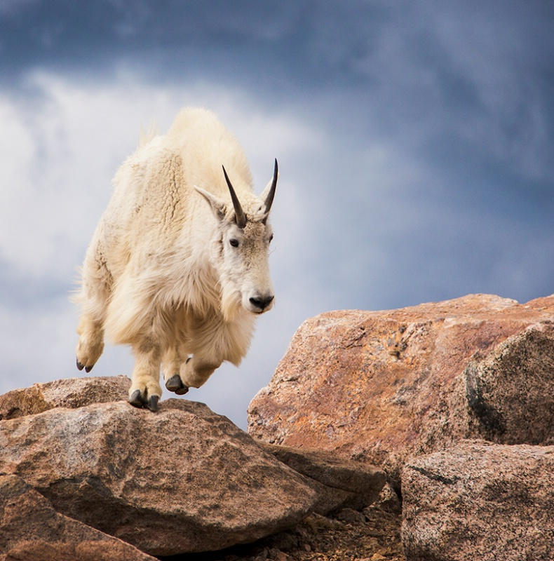 Goat In Motion - ID: 13973153 © Sheila Babbie