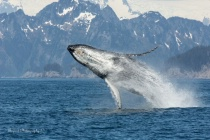 Humpback Whale sequence 1/1