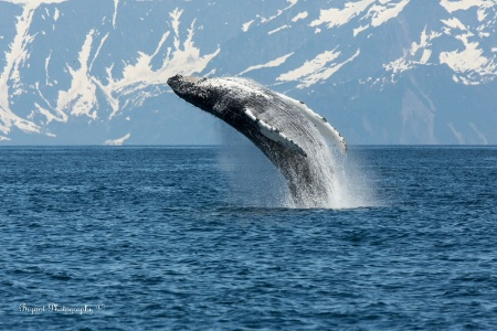 Humpback Whale sequence 2/1