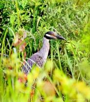 Yel-crowned night heron-pose