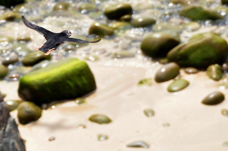 Saltee Islands Puffin