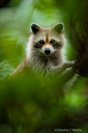 Raccoon through the trees