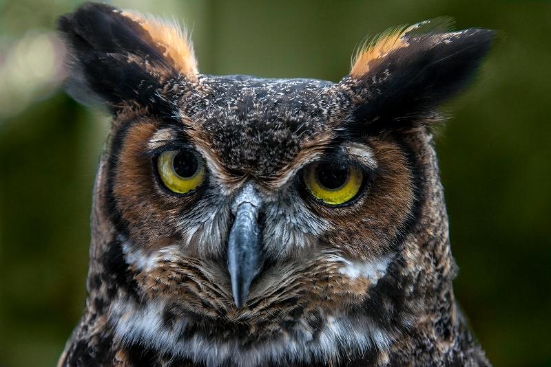 Portrait of a Owl