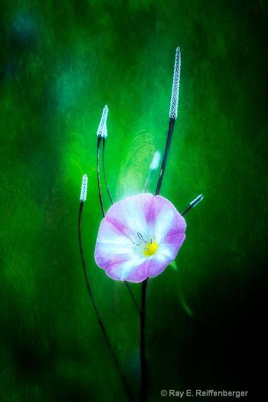 h0c9058t Flower13 - ID: 13983657 © Raymond E. Reiffenberger