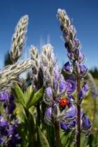 Lady Bug and Lupine