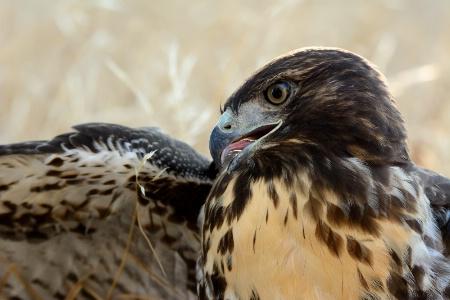 Hawk Near a Local Pond