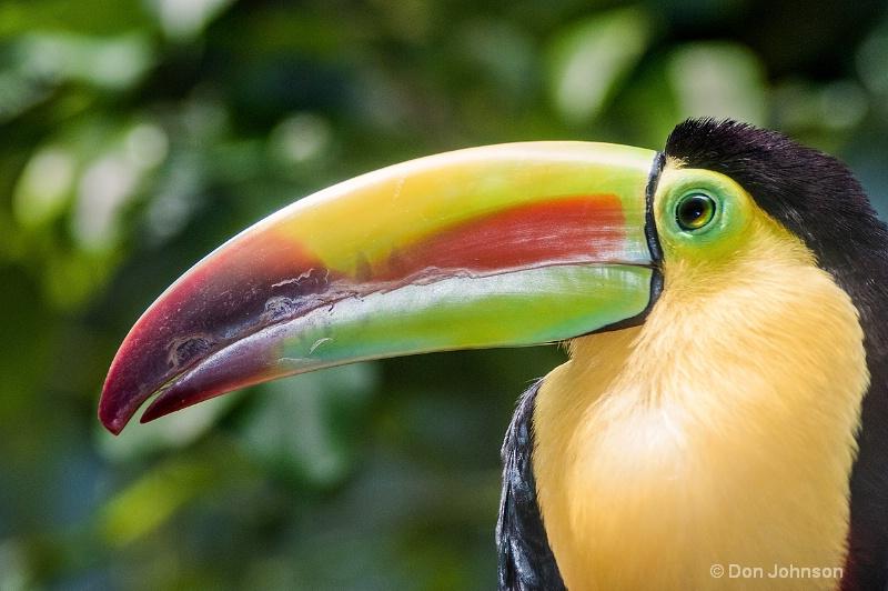 Keel-Billed Toucan - ID: 13996932 © Don Johnson