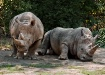 Rhinos Beige and ...