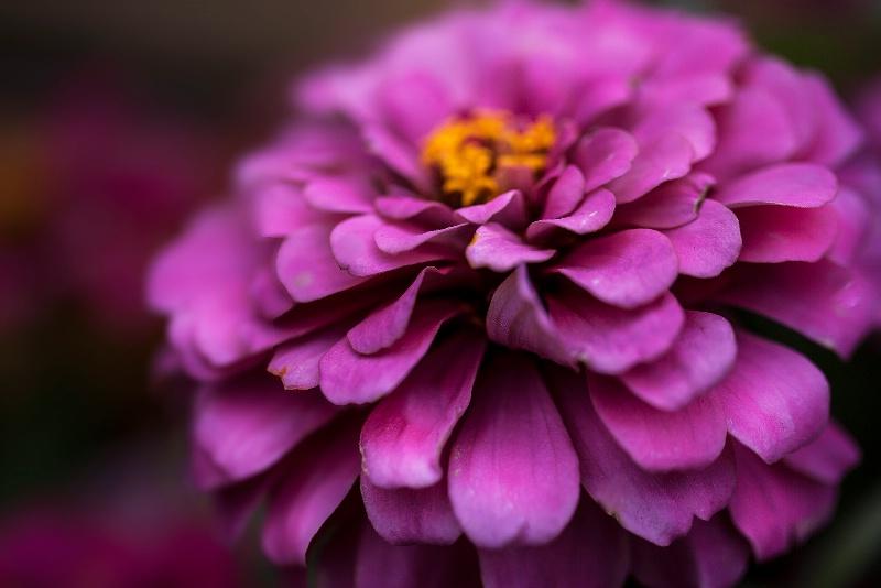 Dazzling Pink